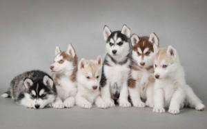 Perros Cachorros de Husky