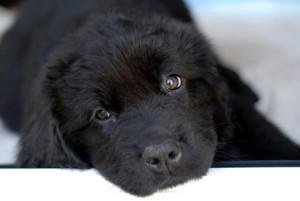 mascotas-cachorros